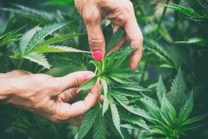 Legalising Cannabis